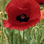 Veterans Day, poppies, Mamacita, Scheiss Weekly