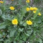 wild flowers, dandelions