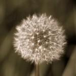 dead dandelion, achenes, wishes